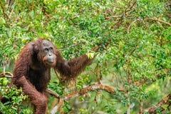 Ein Abschluss herauf Porträt des Bornean-Orang-Utans unter Regen Lizenzfreie Stockfotos