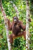 Ein Abschluss herauf Porträt des Bornean-Orang-Utans unter Regen Lizenzfreie Stockfotografie