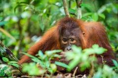 Ein Abschluss herauf Porträt des jungen Bornean-Orang-Utans Lizenzfreie Stockfotos