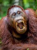 Ein Abschluss herauf Porträt des Orang-Utans mit offenem Mund Stockbild