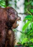 Ein Abschluss herauf Porträt des Orang-Utans mit offenem Mund Stockfotografie