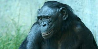 Ein Abschluss herauf Portrait eines Bonobo lizenzfreie stockbilder