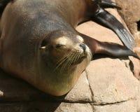 Ein Abschluss herauf schläfrigen Kalifornien-Seelöwe stockbilder