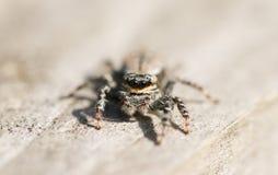 Ein Abschluss herauf Schuss der Augen eines springenden Spinne Marpissa-muscosa, das wartet, um sich auf seine folgende Mahlzeit  Stockfoto