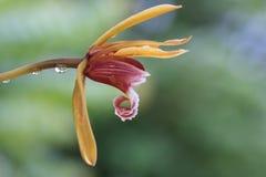 Ein Abschluss herauf Seitenansicht von Cymbidium finlaysonianum Blume Lizenzfreies Stockfoto