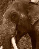Ein Abschluss herauf Sepiabild eines männlichen asiatischen Elefanten stockfotografie