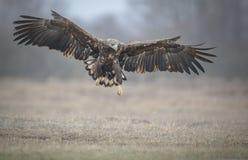 Ein Abschluss herauf Weiß angebundenen Adler im Flug Stockbild