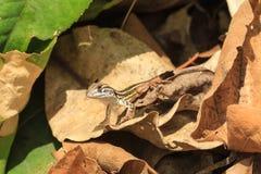 Ein Abschluss oben Baby der gemeinen Schmetterlings-Eidechse auf den getrockneten Blättern Stockfotografie