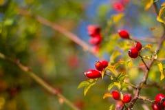 Ein Abschluss oben der Beeren des Weißdorns auf Niederlassung Stockfotografie