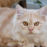 Ein Abschluss oben der gelben Katze Lizenzfreies Stockfoto