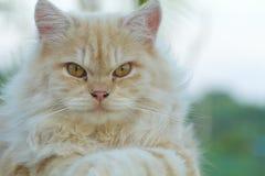 Ein Abschluss oben der gelben Katze Lizenzfreies Stockbild
