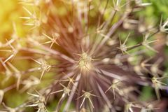 Ein Abschluss oben der Nadeln oder der Dorne einer Echinocereusspezieskaktuspflanze gesehen von oben, hohe Winkelsicht stockfotografie