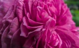 Ein Abschluss oben der purpurroten Blume Stockbilder