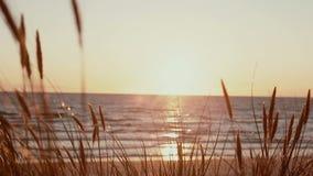 Ein Abschluss oben des hohen trockenen Grases, das in den Wind mit einem schönen rosa Sonnenuntergang im Hintergrund beeinflußt stock video