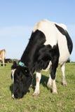 Ein Abschluss oben des Kopfes einer Kuh lizenzfreie stockfotografie