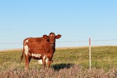 Ein Abschluss oben des Kopfes einer Kuh Lizenzfreie Stockbilder