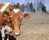 Ein Abschluss oben des Kopfes einer Kuh Lizenzfreies Stockfoto