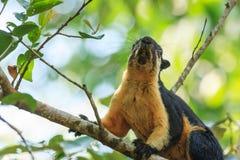 Ein Abschluss oben des schwarzen riesigen Eichhörnchens, das auf dem Baum klettert Lizenzfreie Stockfotos