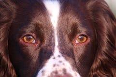 Ein Abschluss oben einer Arbeitsart Spaniel-Haustierjagdhund des englischen Springers Stockbild