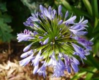 Ein Abschluss oben einer blauen Lilie des Nils Lizenzfreies Stockfoto