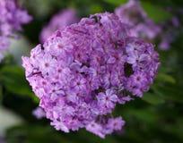 Ein Abschluss oben einer Gruppe der rosa Flammenblume Blühende Blumen Lizenzfreies Stockfoto