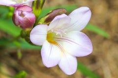 Ein Abschluss oben einer purpurroten malvenfarbenen Freesie laxa Blume mit dem Staubgefässe und der ungeöffneten Knospe im Hinter Lizenzfreies Stockfoto