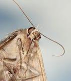 Ein Abschluss oben einer schwarzen Hexen-Motte Stockfotos