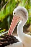 Ein Abschluss oben eines australischen Pelikans in Adelaide Süd-Australien Lizenzfreie Stockbilder