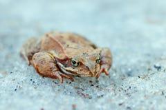 Ein Abschluss oben eines Frosches auf dem Eis Fr?her Fr?hling anormale Ph?nomene in der Natur lizenzfreie stockbilder