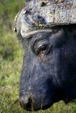 Ein Abschluss oben eines Gesichtes des Umhang-Büffels Stockbild