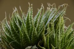 Ein Abschluss oben eines Kaktus lizenzfreie stockfotografie