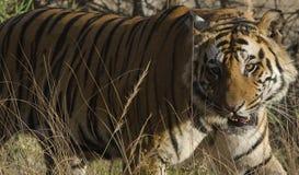 Ein Abschluss oben eines männlichen Bengal-Tigers, der durch hohes Gras geht Stockfotos