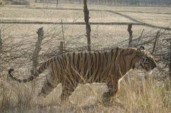 Ein Abschluss oben eines männlichen Bengal-Tigers, der durch hohes Gras geht Lizenzfreie Stockfotografie