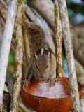 Ein Abschluss oben eines Palmeneichhörnchens in einem Baum Stockbild