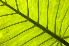 Ein Abschluss oben eines tropischen Blattes Stockfotografie