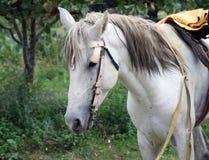 Ein Abschluss oben eines weißen Bauernhof-Pferds lizenzfreie stockbilder