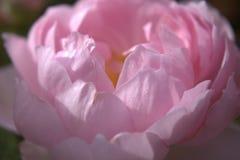 Ein Abschluss oben von blassem - rosa rosafarbene Blumenblätter Stockfotografie