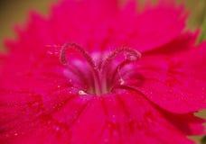 Ein Abschluss oben von den rosa Stempeln von Dianthus chinensis Stockbilder