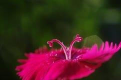 Ein Abschluss oben von den rosa Stempeln von Dianthus chinensis Lizenzfreie Stockfotografie