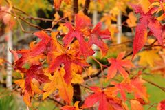 Ein Abschluss oben von Rot-gelb-brauner Herbstlaub auf einem Baum nach einem Regen, Norwegen-Ahorn, Acer-platanoides Stockfotografie