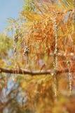 Ein Abschluss oben von Zypresse im Herbst Lizenzfreies Stockfoto