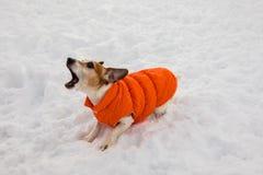 Ein Abstreifenhund in einer orange Jacke steht auf dem Schnee Stockfotos