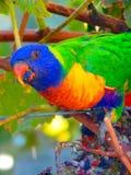Ein achtundzwanzig Papagei, der auf Trauben genießt Lizenzfreie Stockbilder