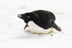 Ein Adelie-Pinguin auf ihm Bauch mit Schnee in seinem Mund Stockfotografie