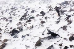 Ein Adelie-Pinguin, der auf Felsen geht Stockfotografie