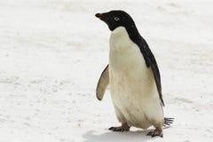 Ein Adelie-Pinguin, der im Schnee steht Lizenzfreie Stockfotografie