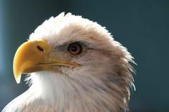 Ein Adler Stockfoto