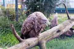 Ein Adler auf einem Baum Lizenzfreies Stockbild