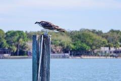 Ein Adler auf einem verlassenen Geschwindigkeitszeichen Stockfotografie