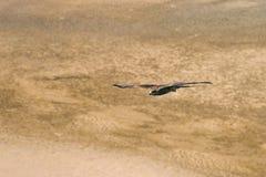 Ein Adler, der über den Boden fliegt Stockbild